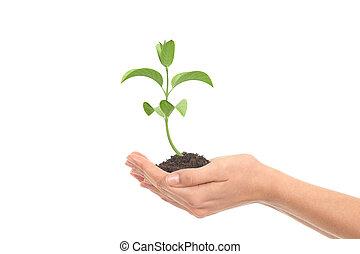 pequeno, mulher, mãos, crescimento, planta