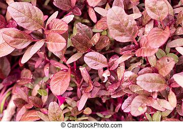 pequeno, plantas, vermelho, natureza