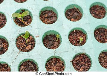 pequeno, solo, planta