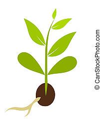 pequeno, vetorial, morphology., -, planta, ilustração, semente, crescendo