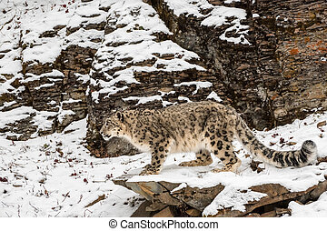 perched, leopardo, neve, borda