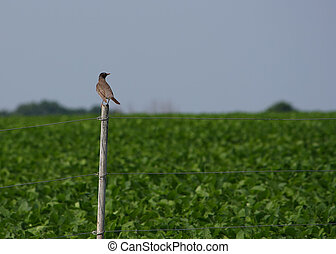perched, robin