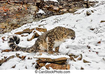 perched, rosnando, leopardo, neve, borda
