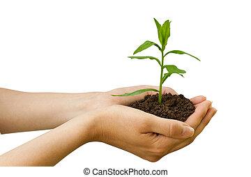 planta, agriculture., mão