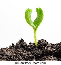 planta, crescendo, verde