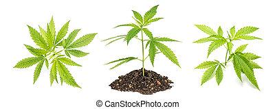 planta maconha, cânhamo, marijuana, leaves.