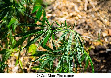 planta maconha, (marijuana)