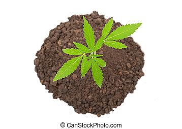 planta marijuana
