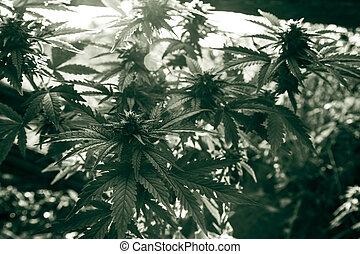 planta medicinal, closeup, marijuana