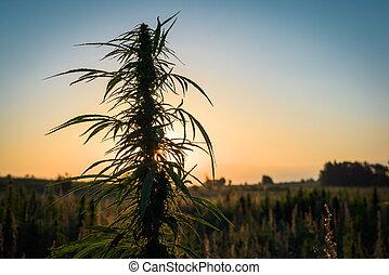 planta, prado, marijuana