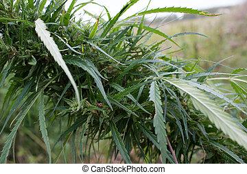 planta, saudável, folhas, -, marijuana, verde