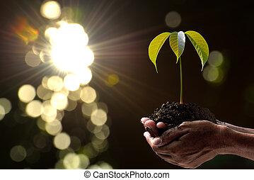 planta, segurando, natureza, luz, jovem, manhã, experiência verde, mãos