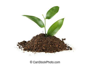 planta, solo, jovem, isolado, verde branco