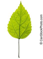 planta verde, folha, fundo branco