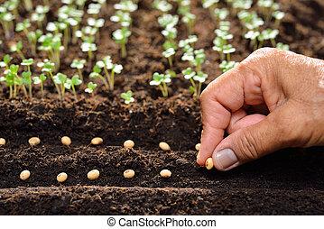 plantar, fazendeiro, solo, mão, (planting), sementes