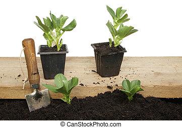 plantas, feijão largo