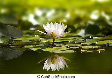 pond., waterlily, natureza, branca