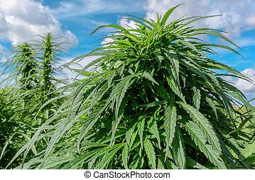 positivo, planta, marijuana