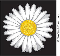 pretas, flor, isolado, margarida