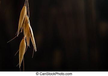 pretas, trigo, fundo, orelhas
