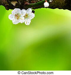 primavera, ameixa, flores, fundo