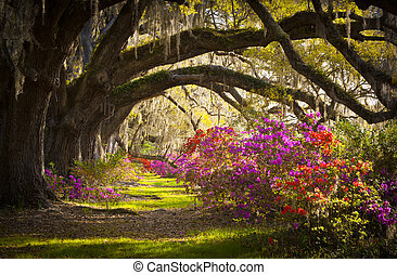 primavera, espanhol, carvalho, árvores, plantação, viver, azaléia, musgo, florescer, sc, charleston, flores, flores