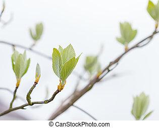primavera, folhas, árvore, primeiro