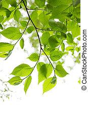 primavera, folhas, verde branco, fundo