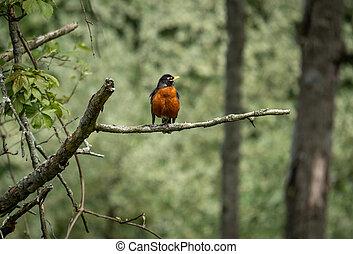 ramo, americano, perched, robin