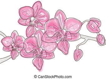 ramo, orquídea, cor-de-rosa