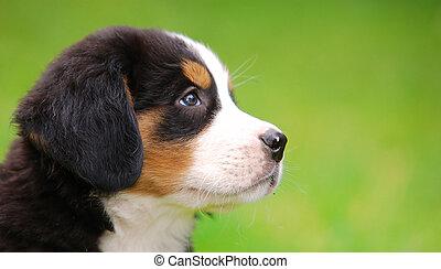 retrato, bernese, cão, montanha