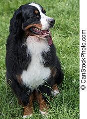 retrato, montanha, bernese, cão, ao ar livre