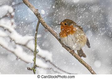 robin, neve, ramo, sentando