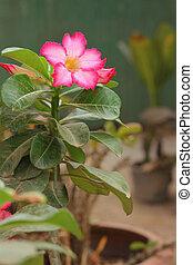 rosa, deserto
