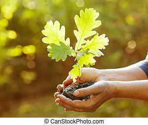 sapling, folhas, carvalho, raios, sunlight., hands.