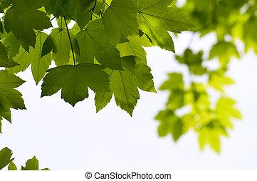 sazonal, close-up, folhas, árvore, experiência verde, maple