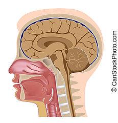 seção, cabeça, mediano, eps8, human