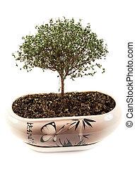 secos, verde, pote, árvore, japoneses