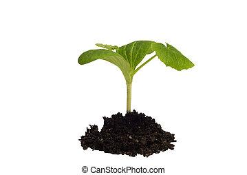 seedling, whi, springtime, isolado