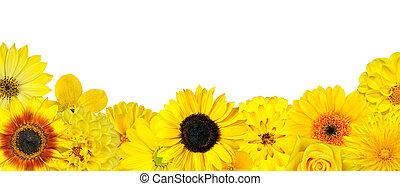 seleção, fundo, isolado, amarelo floresce, fila