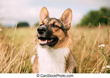 sentando, retrato, raça, cima, secos, capim, misturado, verão, dog., cão, engraçado