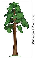 sequoia, vetorial