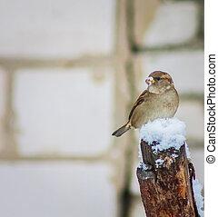 snow., perched, filial árvore, pardal