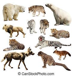 sobre, jogo, mamíferos, predatório, branca