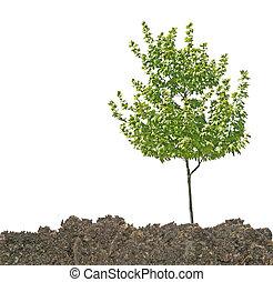 solo, árvore
