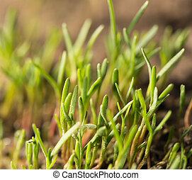 solo, broto, pequeno, capim, natureza