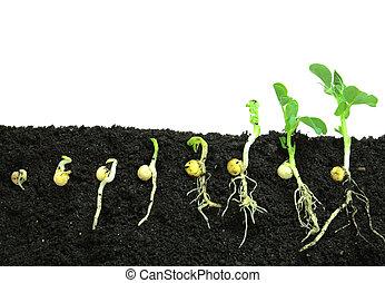 solo, germinação, ervilha, broto
