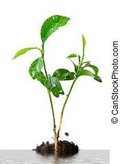 solo, planta