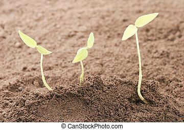 solo, três, seedlings