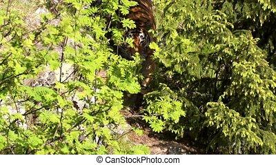 tigre siberiano, verão